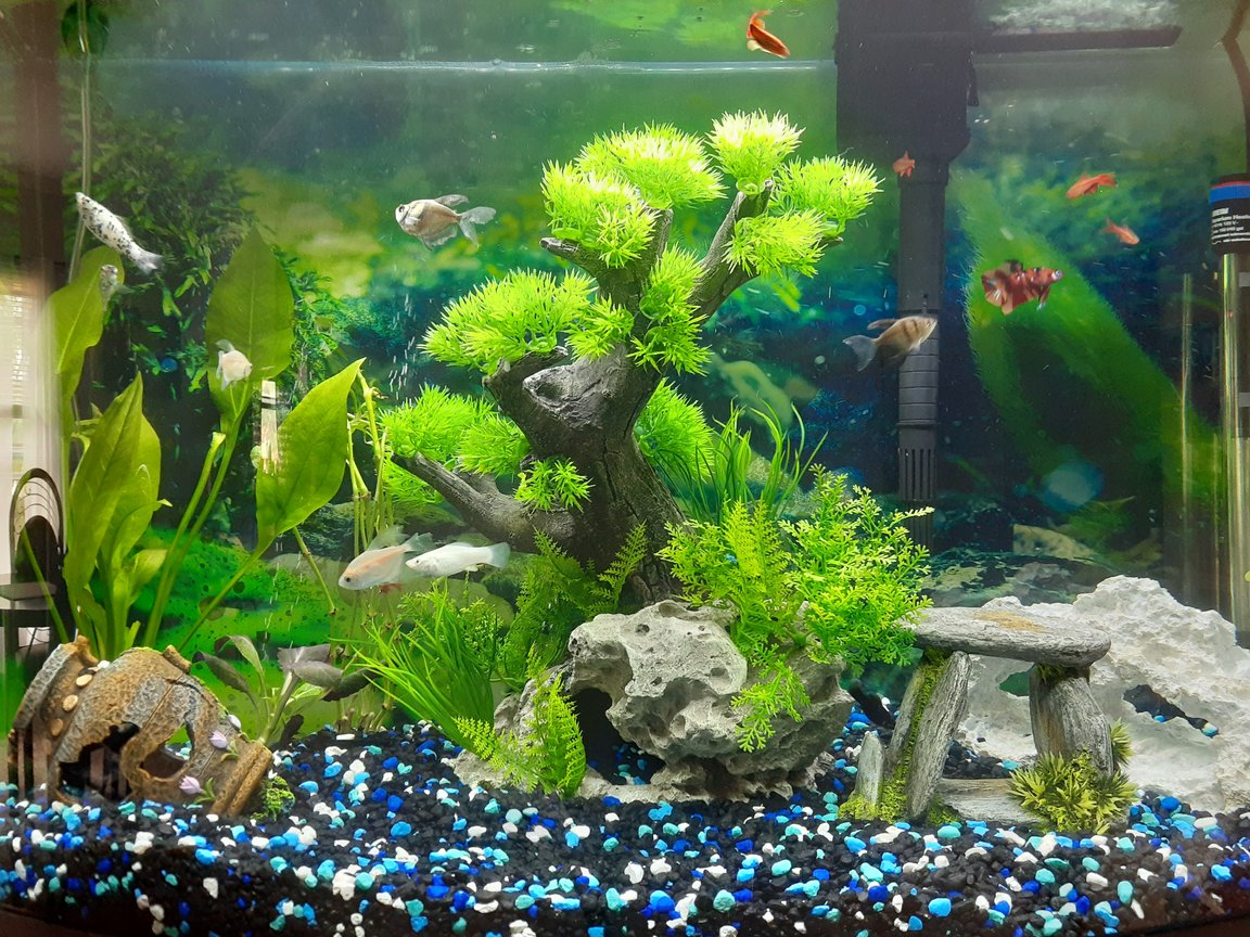 freshwater fish stocking in 36 gallons tank - My 36 Bow front fresh water aquarium