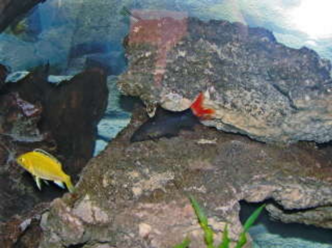 freshwater fish - labidochromis caeruleus - electric yellow cichlid stocking in 55 gallons tank - red tail and yellow lab