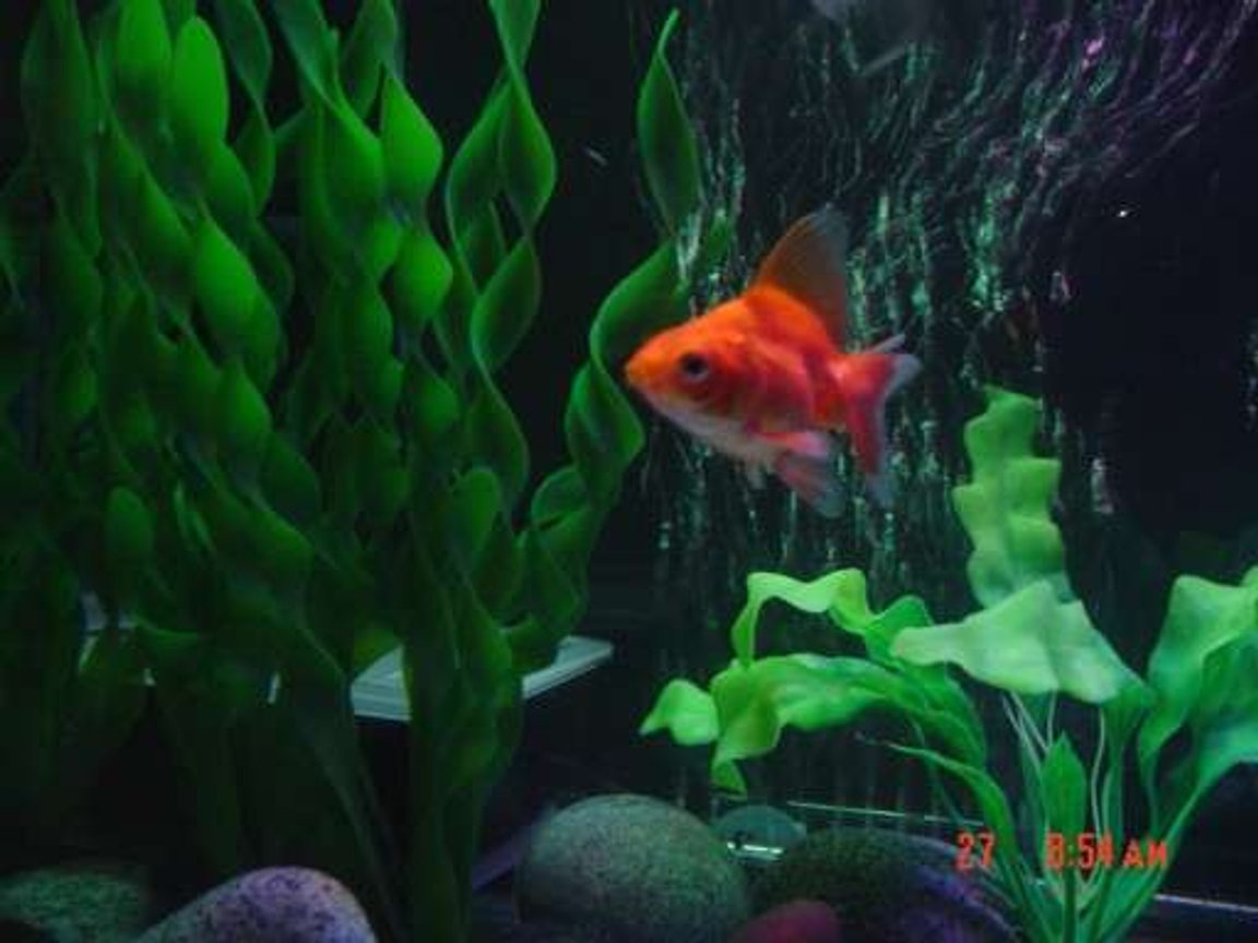 freshwater fish - carassius auratus - ryukin goldfish stocking in 30 gallons tank - Ryukin goldfish