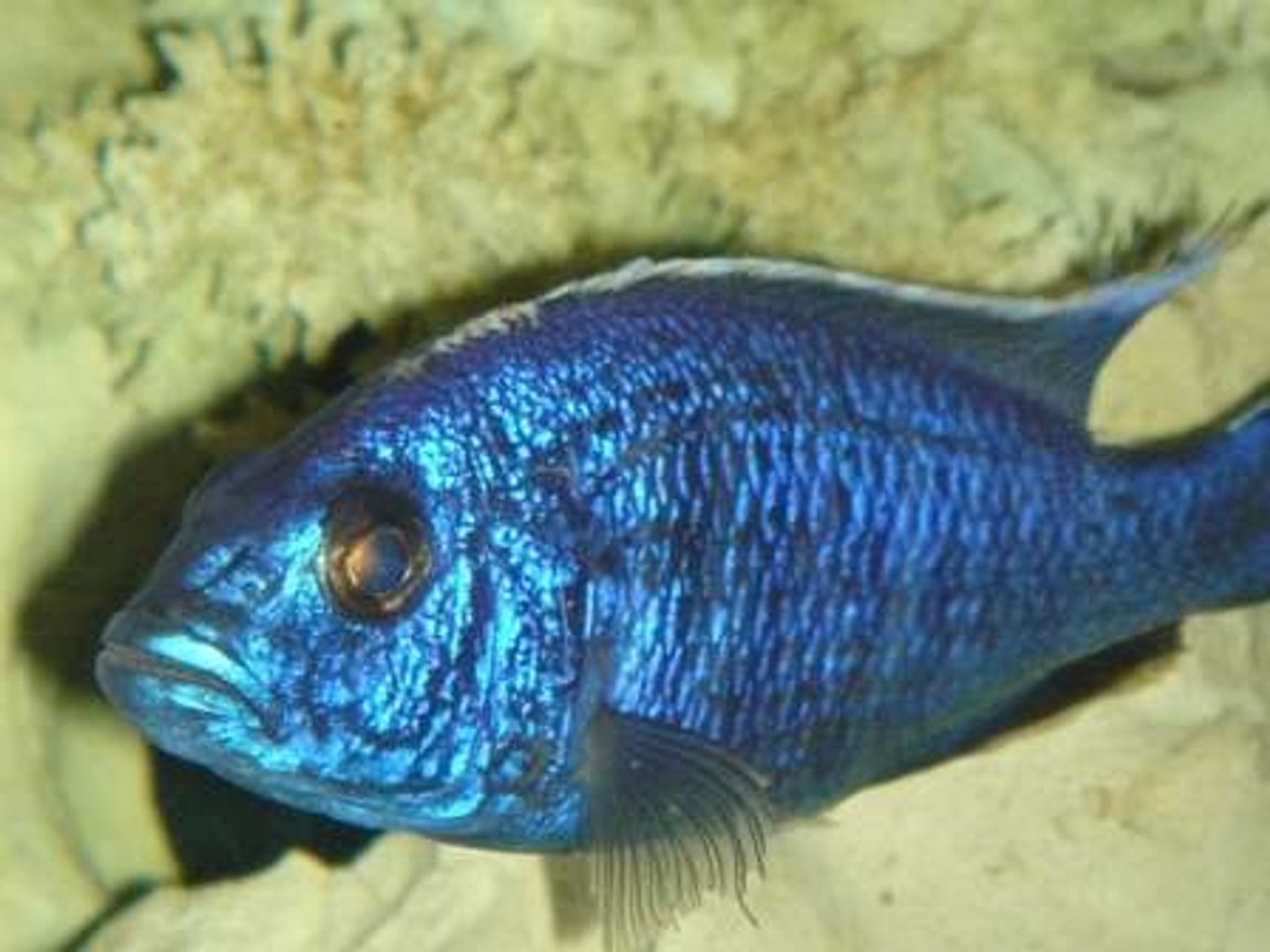 freshwater fish - sciaenochromis fryeri - electric blue hap stocking in 55 gallons tank - blue hap. ahli