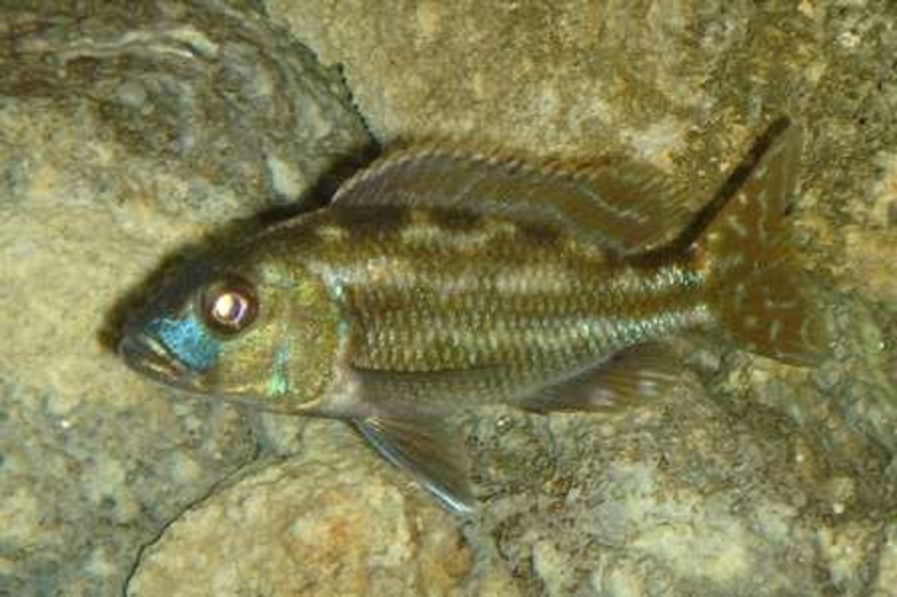 freshwater fish - herotilapia multispinosa - rainbow cichlid stocking in 55 gallons tank - #8