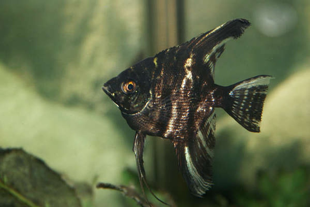 freshwater fish - pterophyllum sp. - koi angel - angelfish