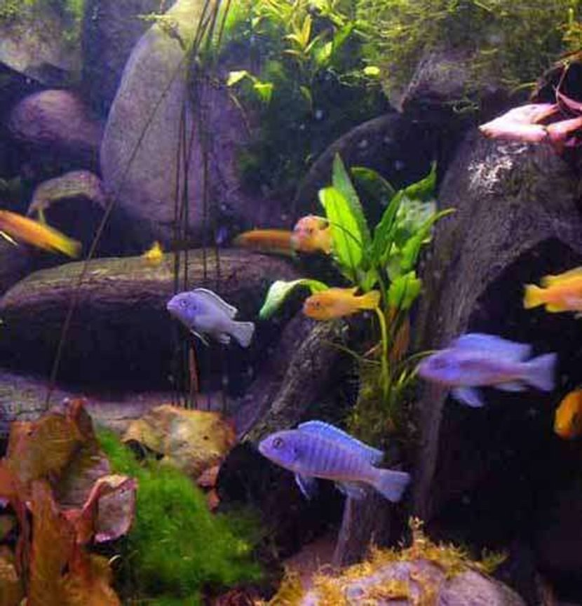 freshwater fish - pseudotropheus acei - acei cichlid stocking in 45 gallons tank - A group of my malawi's on a tea break