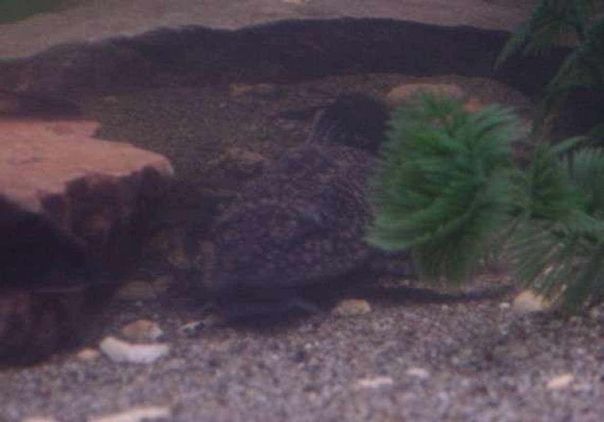 freshwater fish - glyptoperichthys gibbiceps - sailfin pleco (l-83) stocking in 90 gallons tank - Oscar our Pleco relaxing in his usual spot.