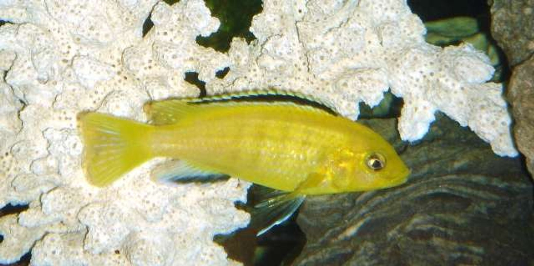 freshwater fish - labidochromis caeruleus - electric yellow cichlid stocking in 55 gallons tank - electric lab
