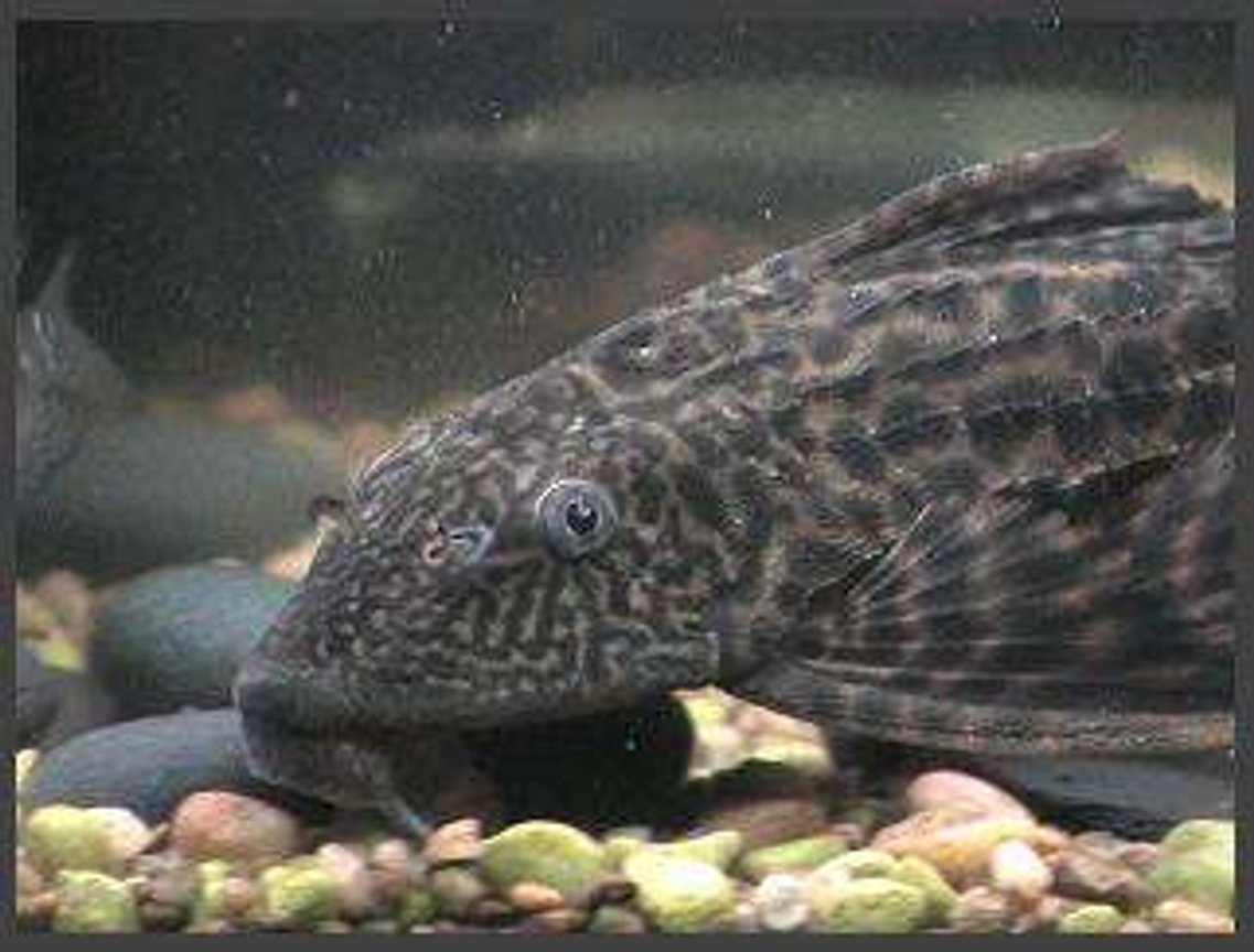 freshwater fish - glyptoperichthys gibbiceps - sailfin pleco (l-83) stocking in 75 gallons tank - pleco