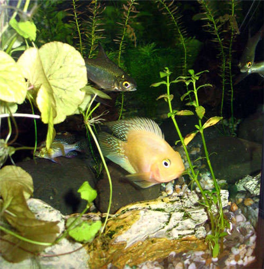 freshwater fish - heros severus x amphilophus citrinellum - blood parrot stocking in 25 gallons tank - Blood Parrot Fish, Ramirez and 2 This Foil Aluminium