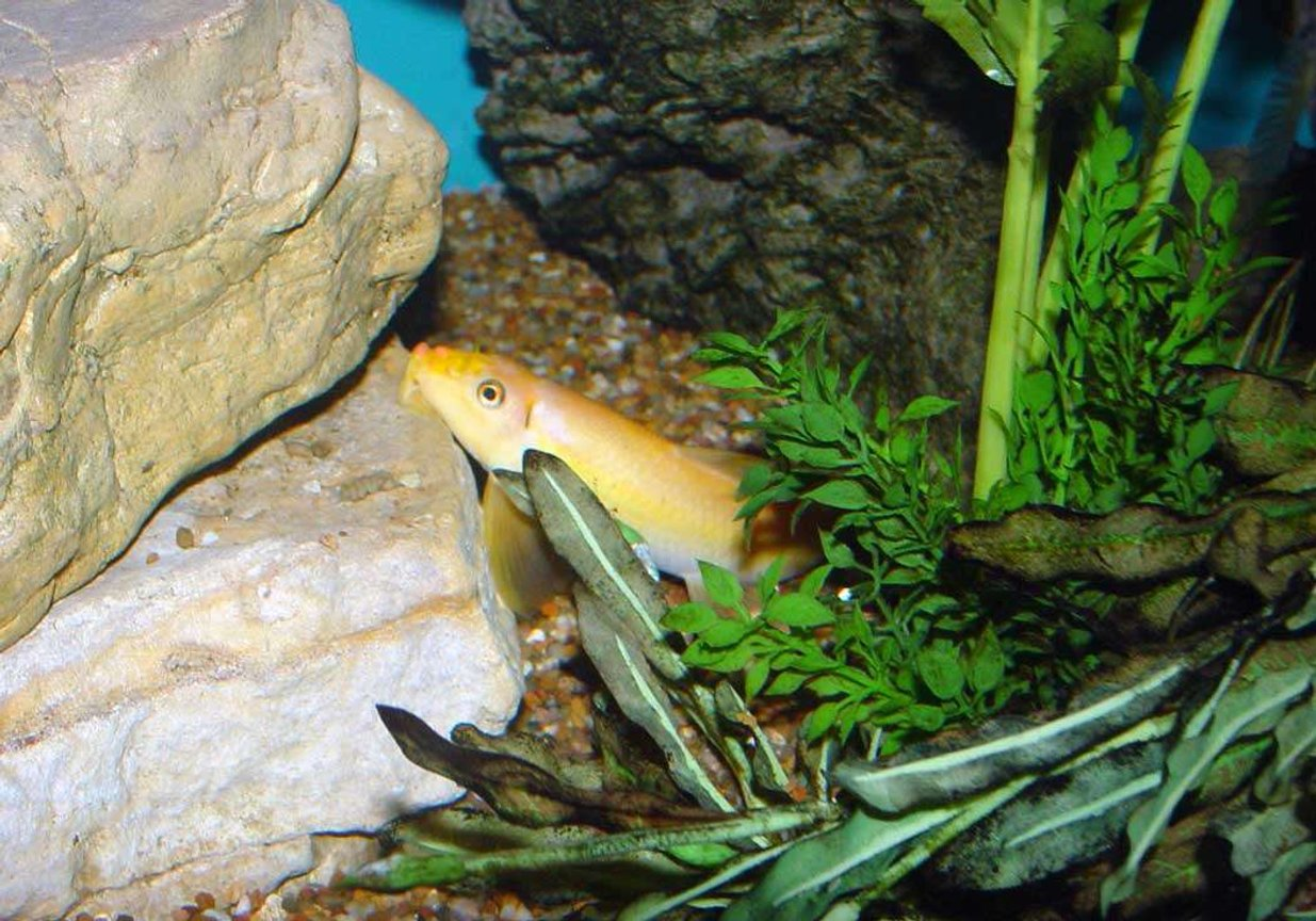 "freshwater fish - gyrinocheilos aymonieri - chinese algae eater stocking in 150 gallons tank - This golden algae eater (Gyrinocheilus aymomieri) started out at about 1.5"" and is now about 6"". South and Central American Cichlids share his 150gal. mansion."