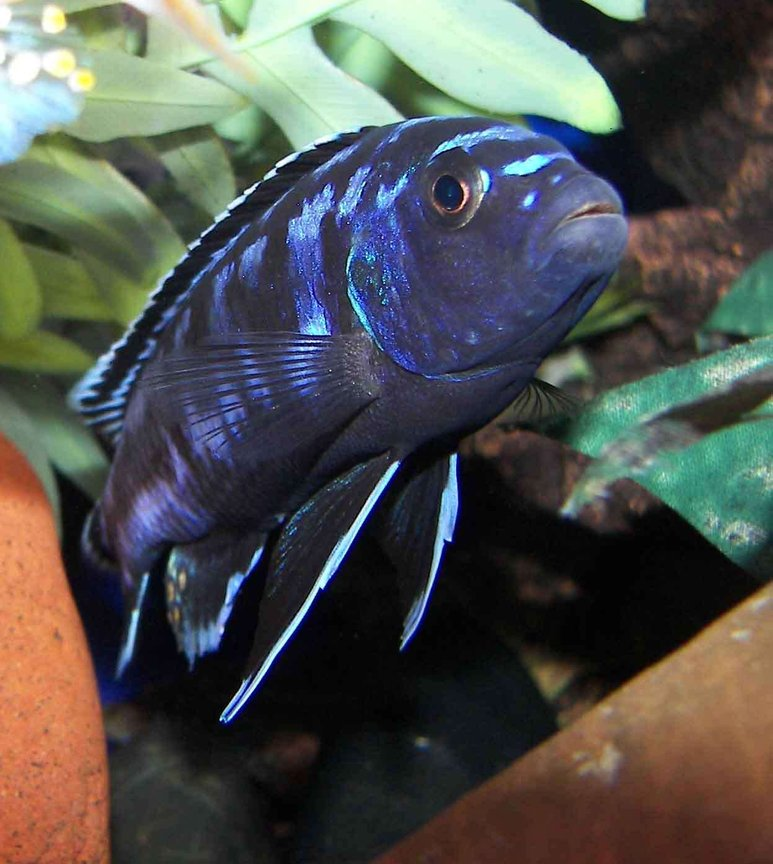 freshwater fish - melanochromis johannii - johanni cichlid stocking in 55 gallons tank - Electric Blue