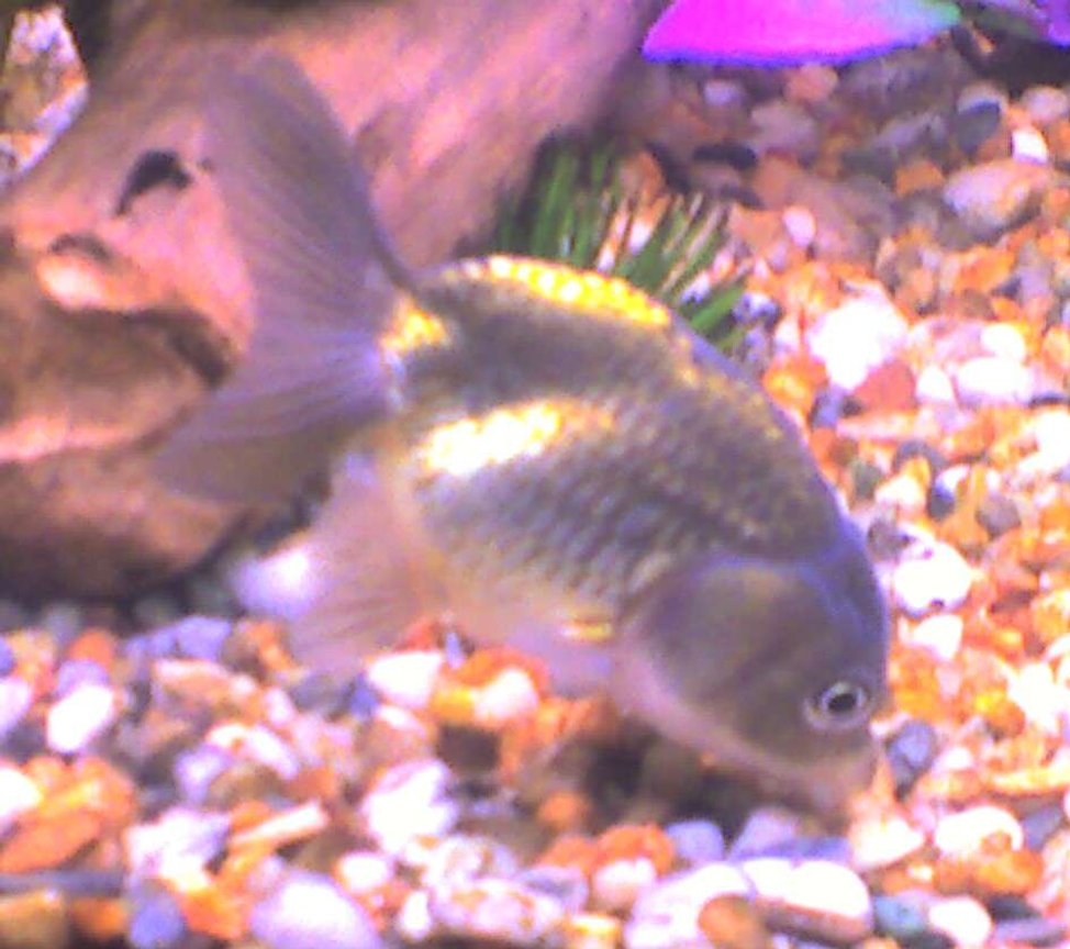 freshwater fish - carassius auratus - ranchu stocking in 50 gallons tank - This is my cute Black Ranchu trying to scavenge food that sink after feeding them. Sorry for the clarity, used a cam phone.