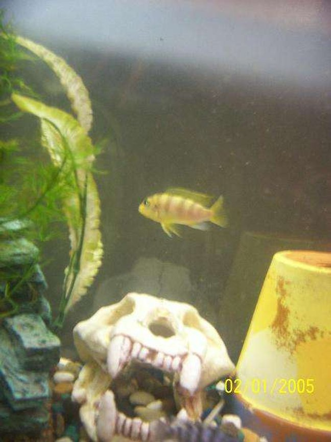 freshwater fish - metriaclima lombardoi - kenyi cichlid stocking in 55 gallons tank - My male Kenyi