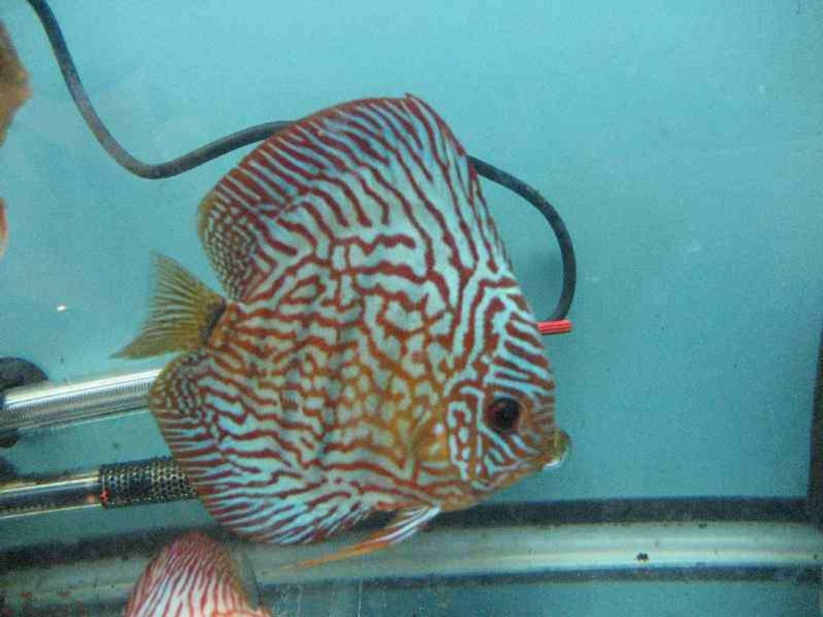 freshwater fish - symphysodon spp. - snakeskin discus stocking in 40 gallons tank - carnation