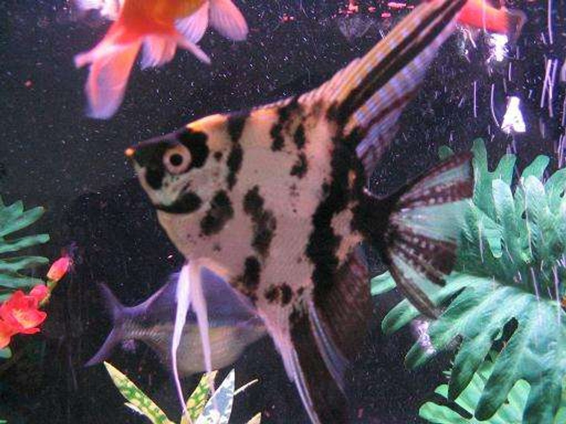 freshwater fish - pterophyllum sp. - marble veil angel stocking in 45 gallons tank - This is Mr. Tipo! The king of the tank.
