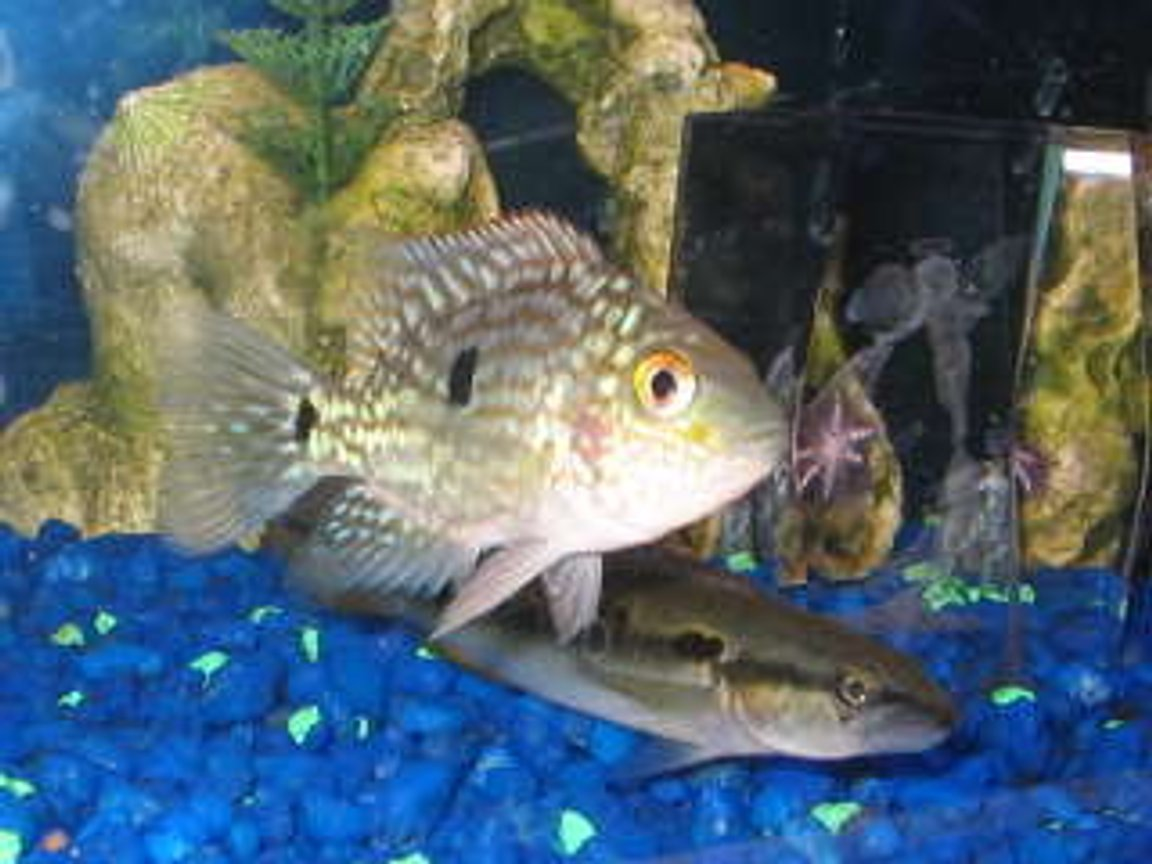 freshwater fish - herichthys carpinte - green texas cichlid stocking in 29 gallons tank - texas and pike cichlid