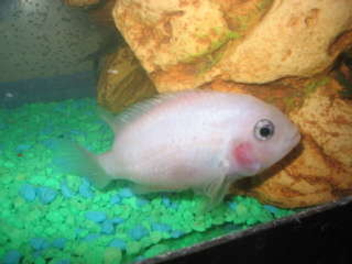 freshwater fish - archocentrus nigrofasciatus - pink convict cichlid stocking in 29 gallons tank - pink convict