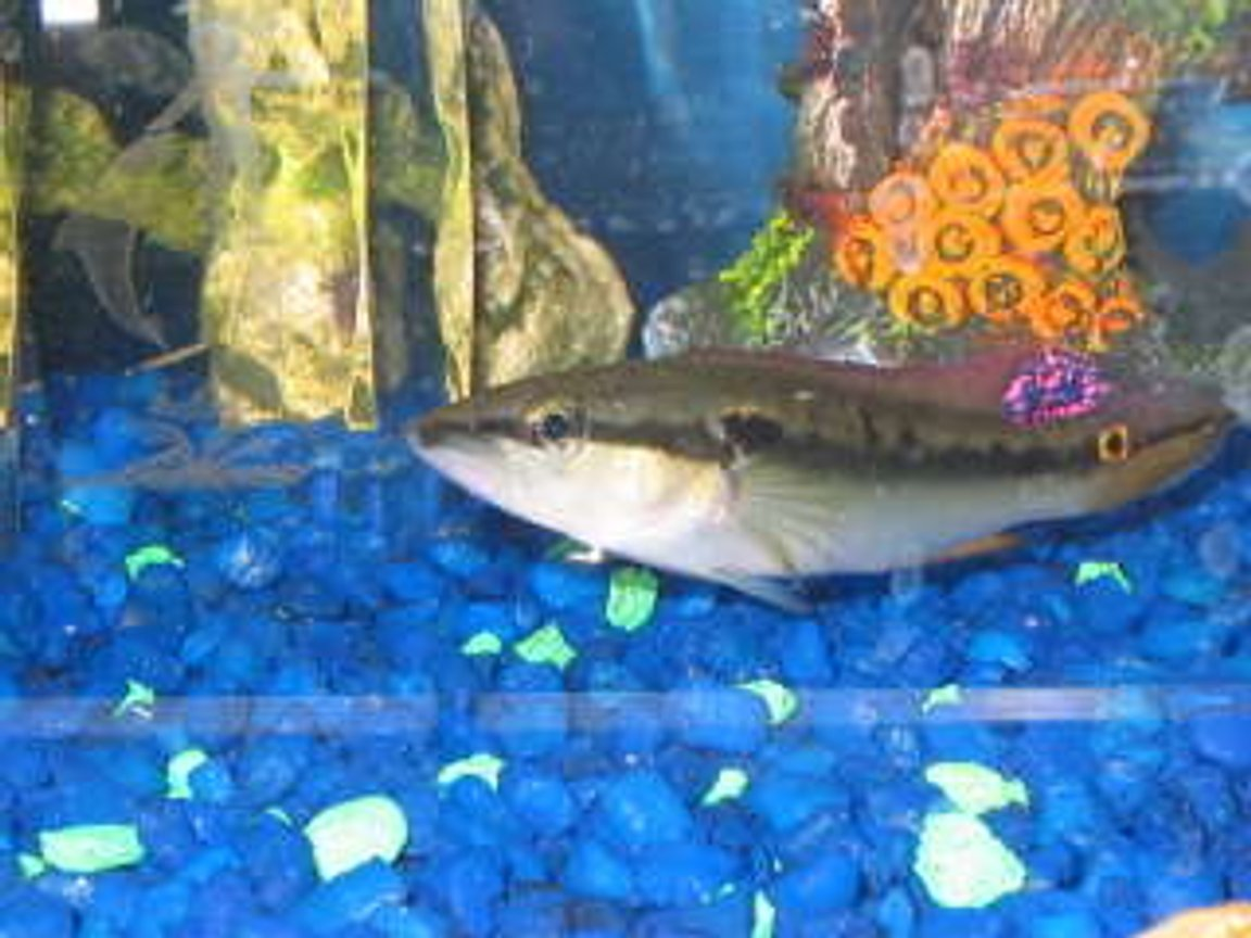 freshwater fish - crenicichla notophthalmus - dwarf pike cichlid stocking in 29 gallons tank - pike cichlid