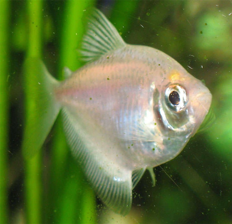 freshwater fish - gymnocorymbus ternetzi - white skirt tetra stocking in 26 gallons tank - White Skirt Tetra