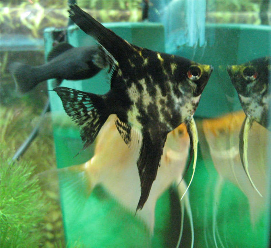 freshwater fish - pterophyllum sp. - koi angel stocking in 26 gallons tank - Blacky waiting for food.