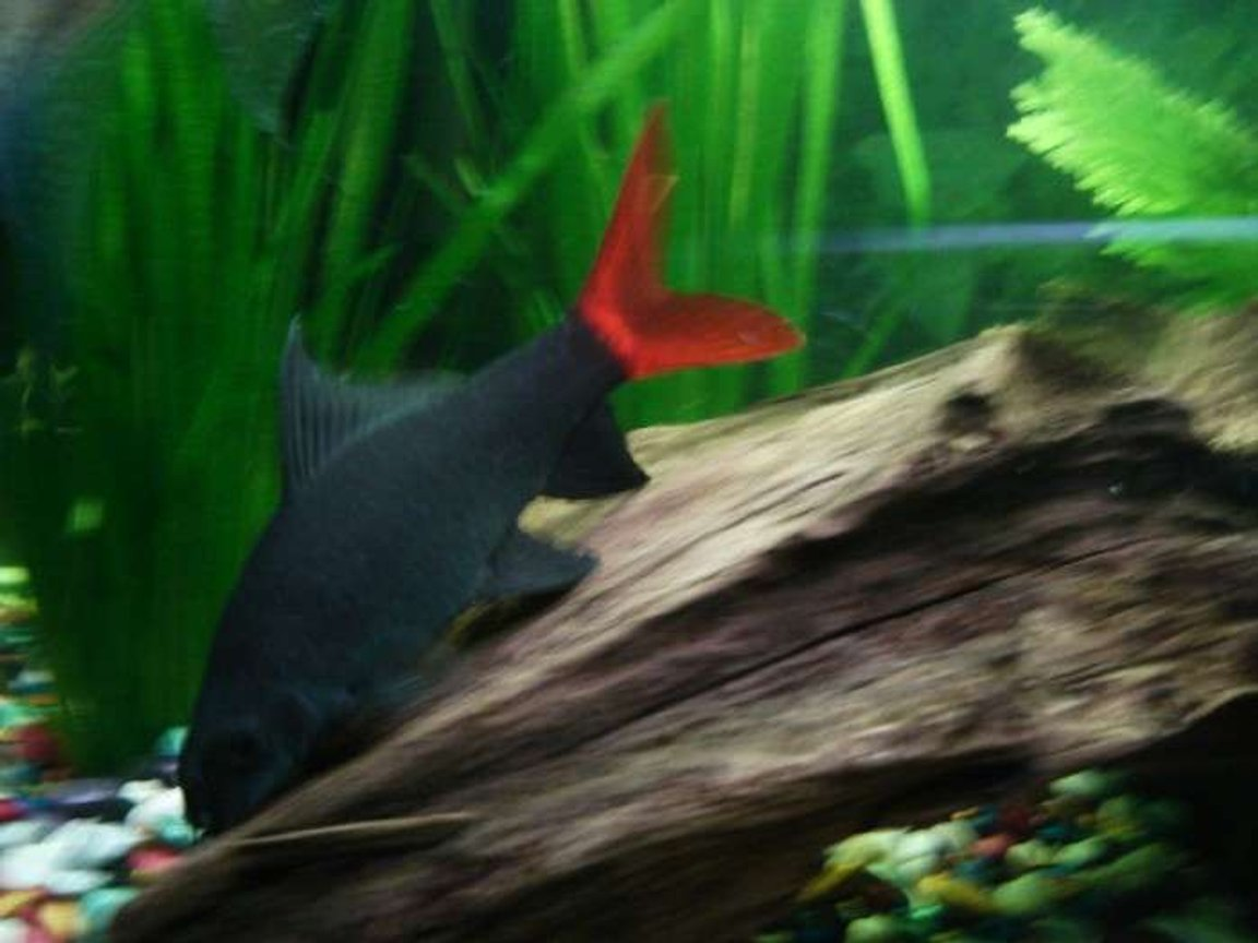 freshwater fish - epalzeorhynchos bicolor - redtail shark stocking in 33 gallons tank - red -tailed shark