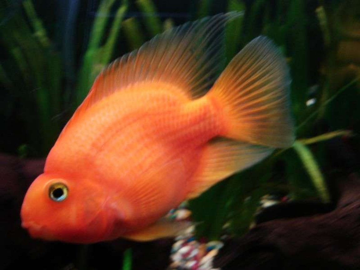 freshwater fish - heros severus x amphilophus citrinellum - blood parrot stocking in 33 gallons tank - very large parrot!!