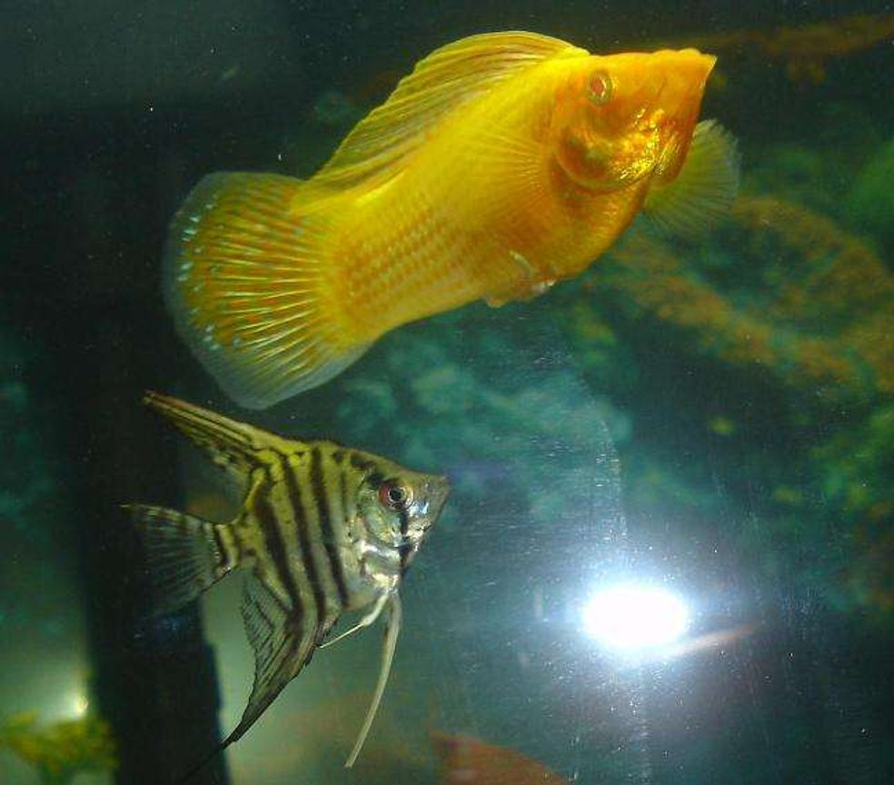 freshwater fish - pterophyllum sp. - silver zebra angel stocking in 110 gallons tank - the zebtra angel and the sailfin