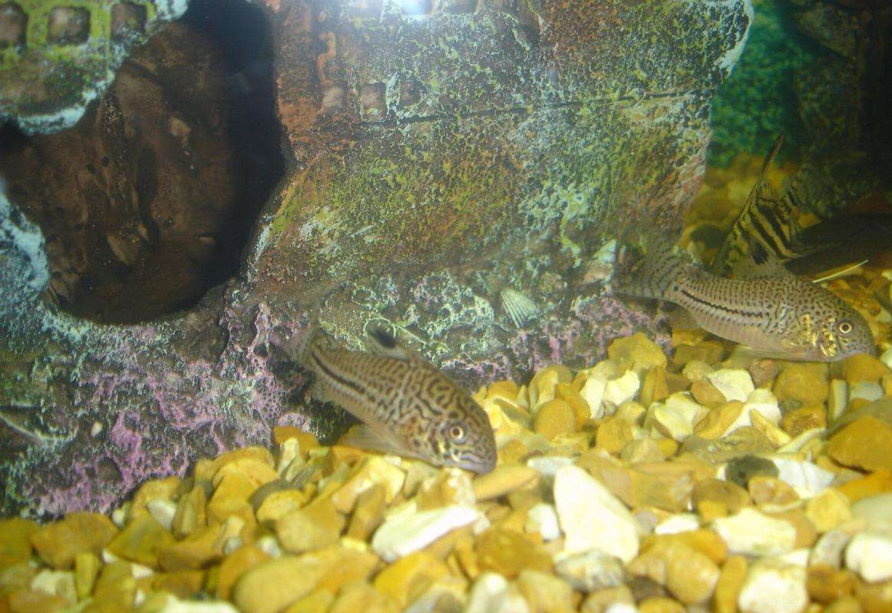 freshwater fish - corydoras sp. - false julii cory cat stocking in 110 gallons tank - my spotted cat fish