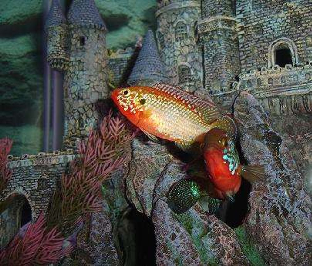 freshwater fish - hemichromis bimaculatus - jewel cichlid stocking in 55 gallons tank - Breedind pair of Jewels guarding their domain.