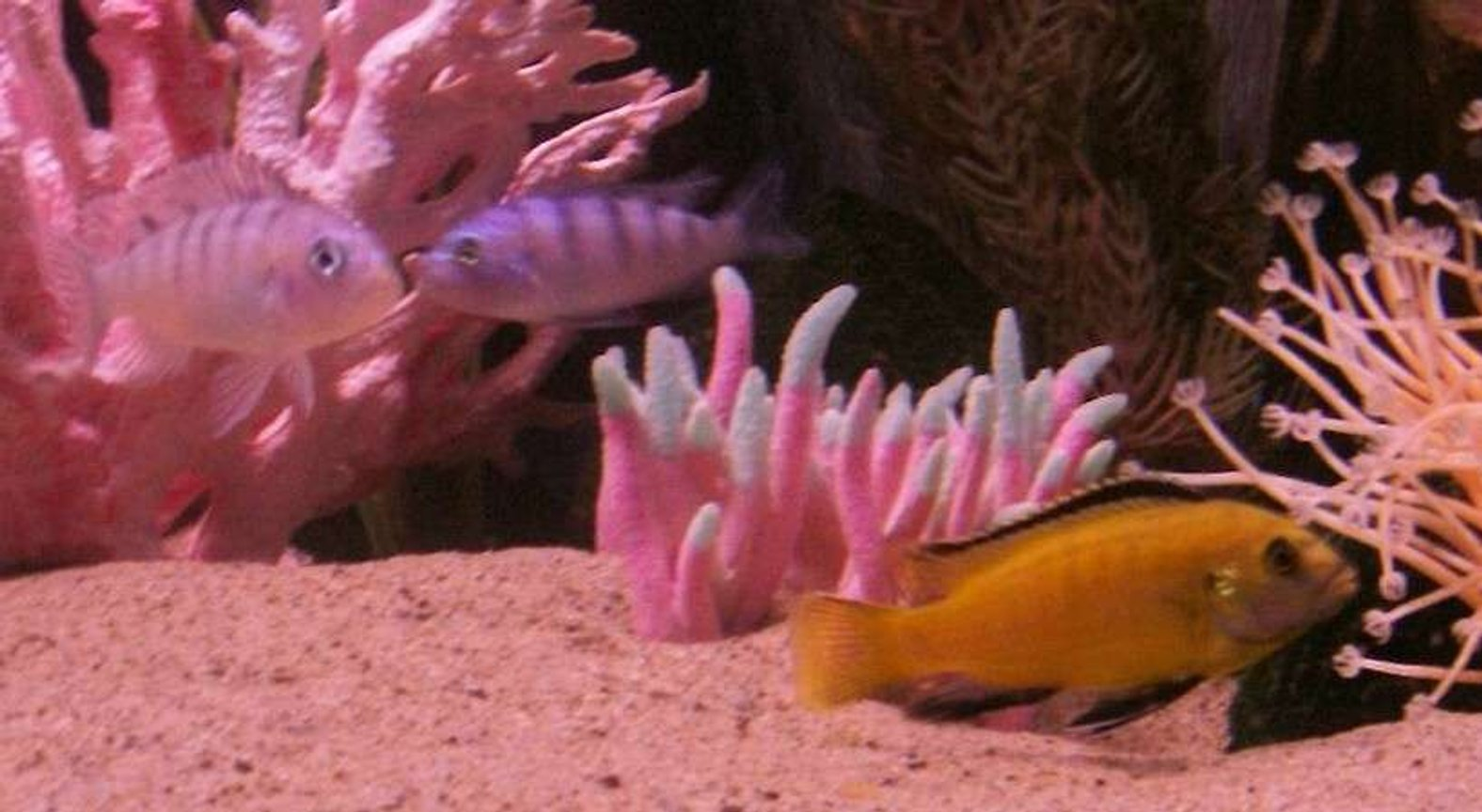 freshwater fish - labidochromis caeruleus - electric yellow cichlid stocking in 55 gallons tank - best friends!