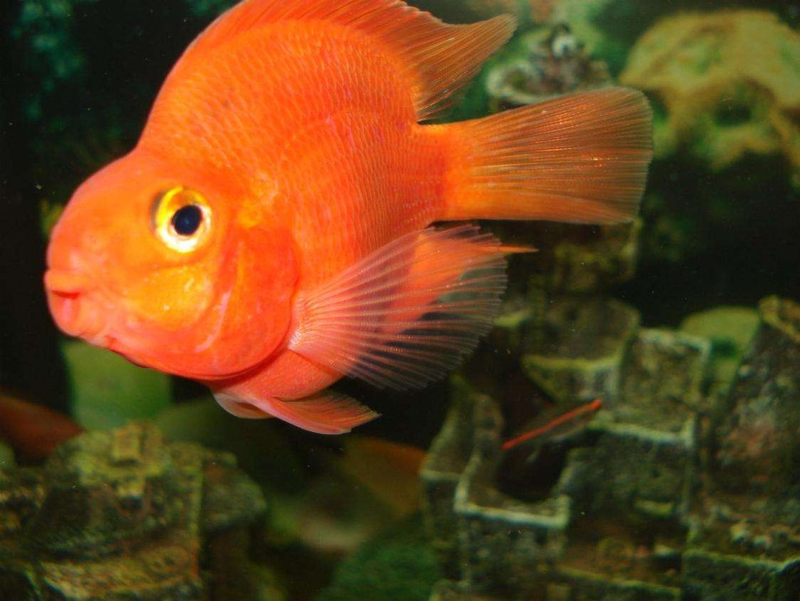 freshwater fish - heros severus x amphilophus citrinellum - blood parrot stocking in 110 gallons tank - the big parrot