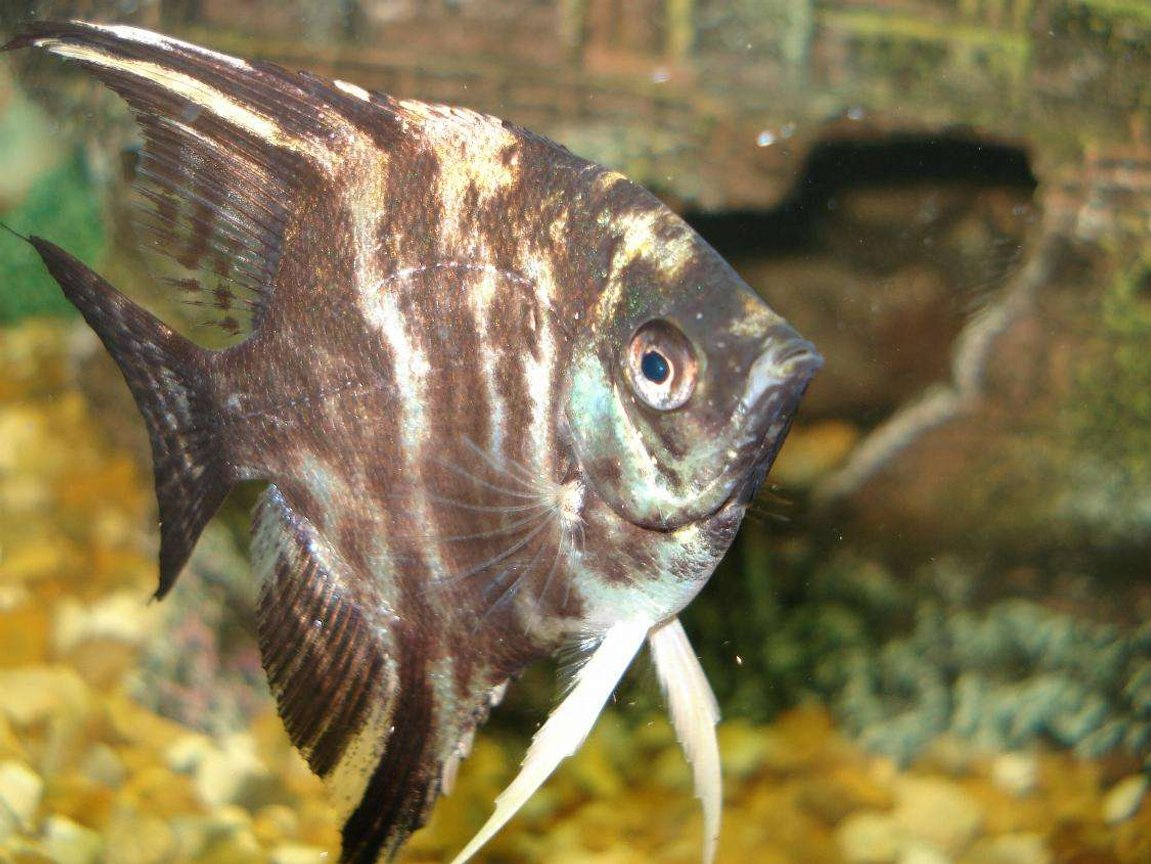 freshwater fish - pterophyllum sp. - marble veil angel stocking in 110 gallons tank - i want food....lol