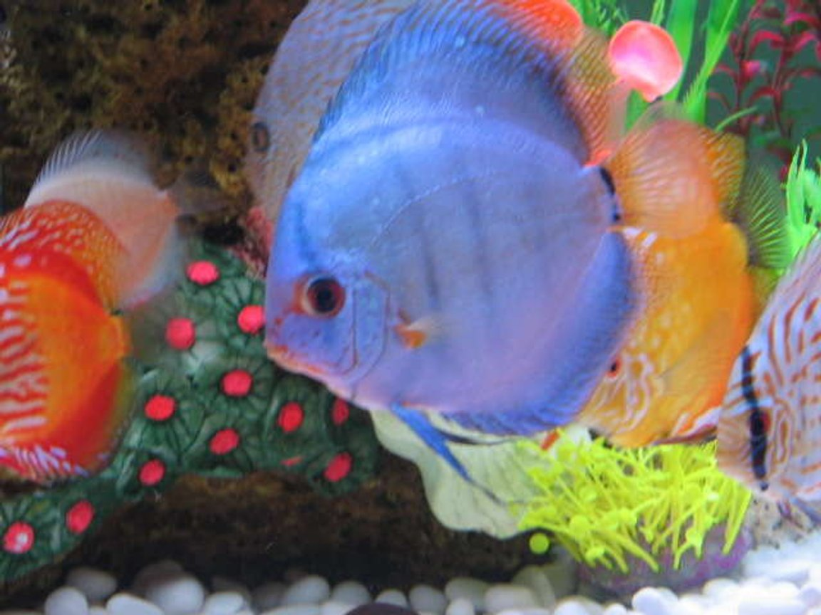 freshwater fish - symphysodon sp. - blue diamond discus stocking in 121 gallons tank - my adult discus blue cobalt