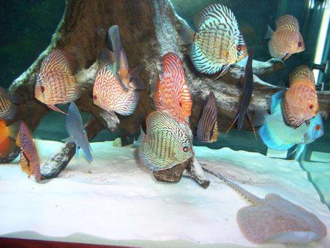 freshwater fish - symphysodon spp. - snakeskin discus stocking in 55 gallons tank - discus