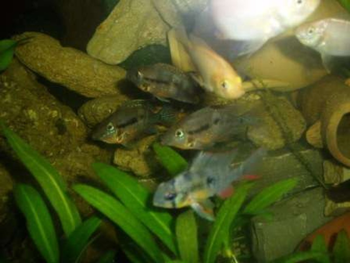 freshwater fish - microgeophagus altispinosa - bolivian ram stocking in 70 gallons tank - fish