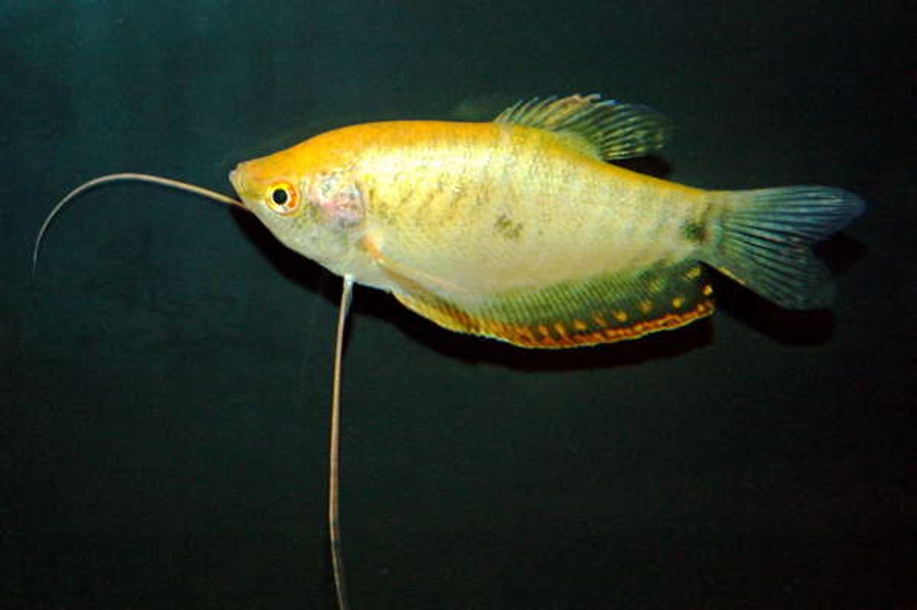 freshwater fish - trichogaster trichopterus - gold gourami stocking in 55 gallons tank - Gold Gourami