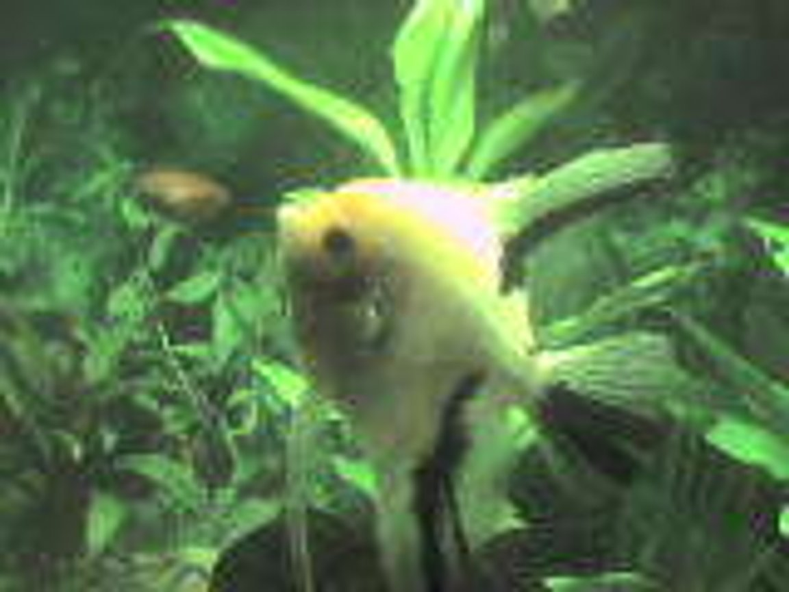 freshwater fish - pterophyllum scalare - assorted veil angel stocking in 26 gallons tank - my angelfish and unknown gournami fighting.an the gournami is pushing the angel bk
