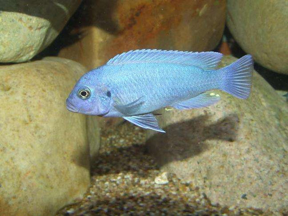 freshwater fish - maylandia callainos - blue cobalt cichlid stocking in 100 gallons tank - M.Callainos