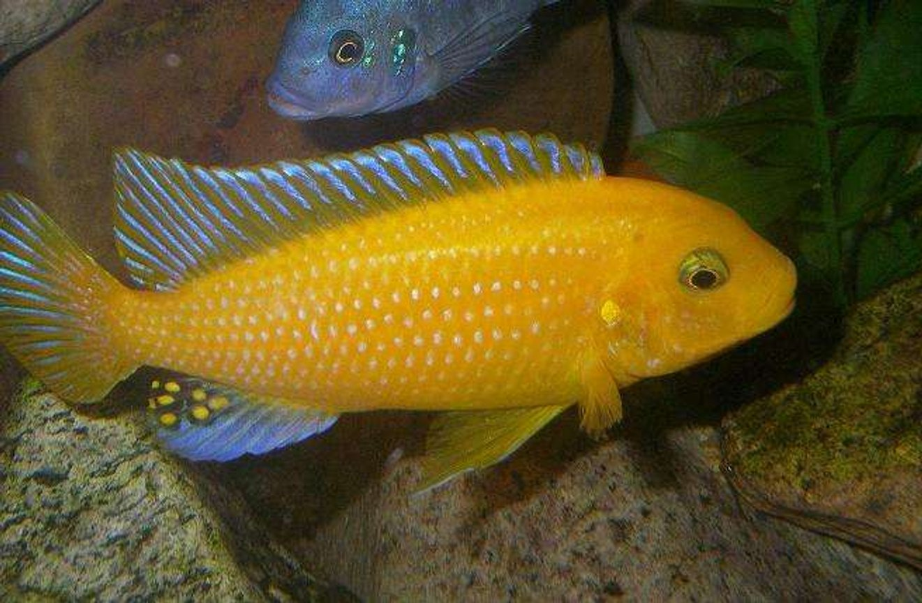 freshwater fish - pseudotropheus estherae - red zebra cichlid stocking in 100 gallons tank - Male M.Estherae