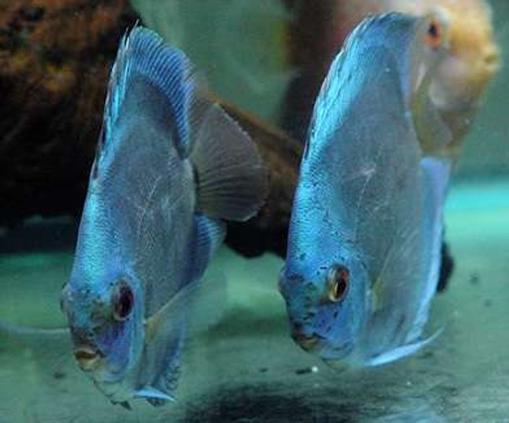 freshwater fish - symphysodon sp. - blue diamond discus stocking in 60 gallons tank - Blue Diamond Duet