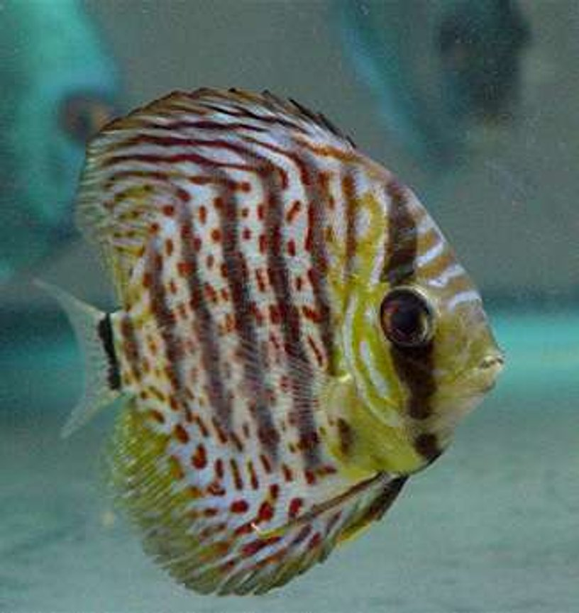 freshwater fish - symphysodon spp. - snakeskin discus stocking in 60 gallons tank - Leopard Skin