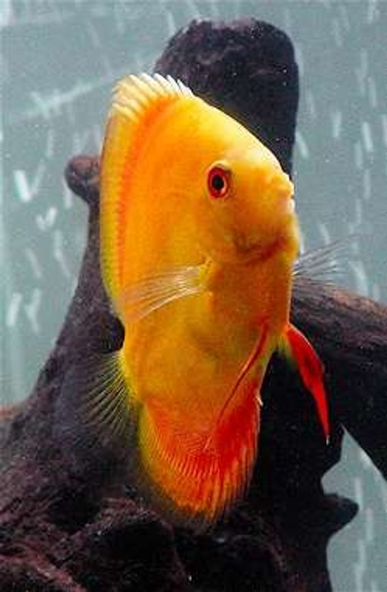 freshwater fish - symphysodon sp. - red marlboro discus stocking in 60 gallons tank - Red Scarlet