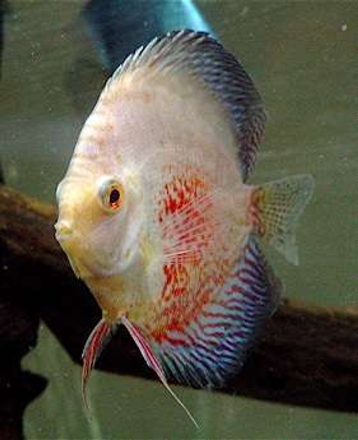 freshwater fish - symphysodon spp. - snakeskin discus stocking in 60 gallons tank - Snow Snakeskin Leopard
