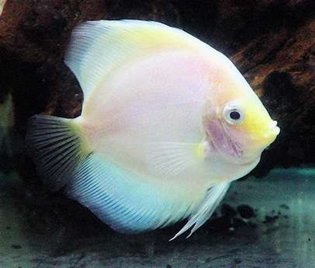 freshwater fish - symphysodon sp. - snow white discus stocking in 60 gallons tank - White Diamond