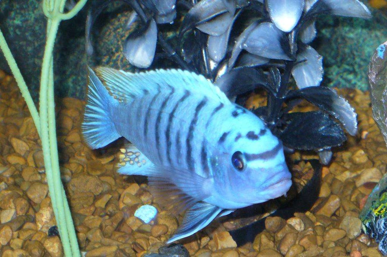 freshwater fish - metriaclima callainos - cobalt blue zebra cichlid stocking in 55 gallons tank - my blue zebra