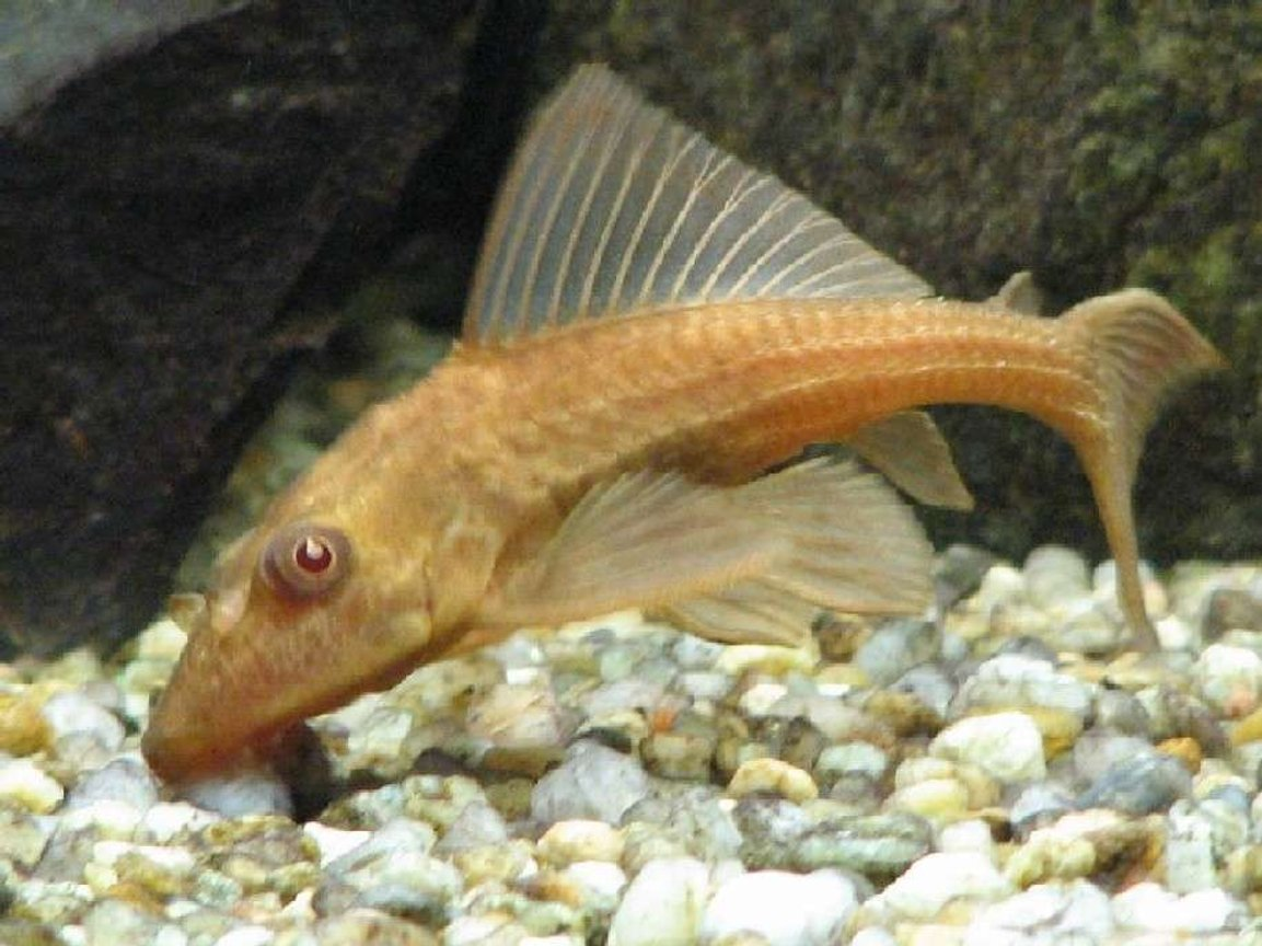 freshwater fish - ancistrus sp. - bushy nose pleco l-144 stocking in 120 gallons tank - 4 inch Pleco