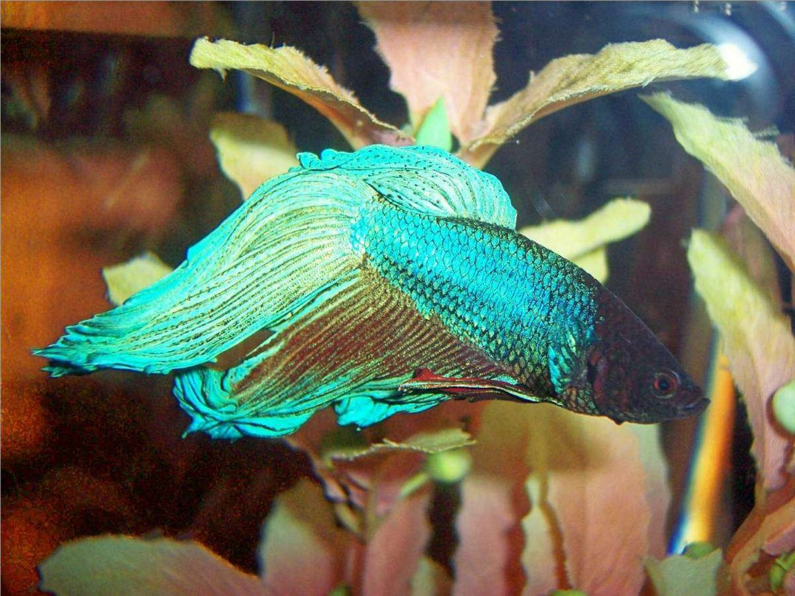 freshwater fish - betta splendens - betta - male stocking in 72 gallons tank - This is Freddy the betta.