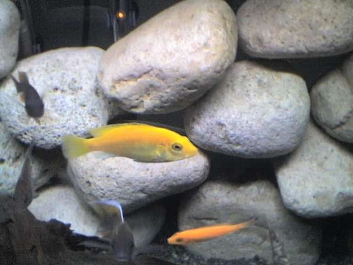 "freshwater fish - labidochromis caeruleus - electric yellow cichlid stocking in 65 gallons tank - My yellow lab ""taken off of phone"""