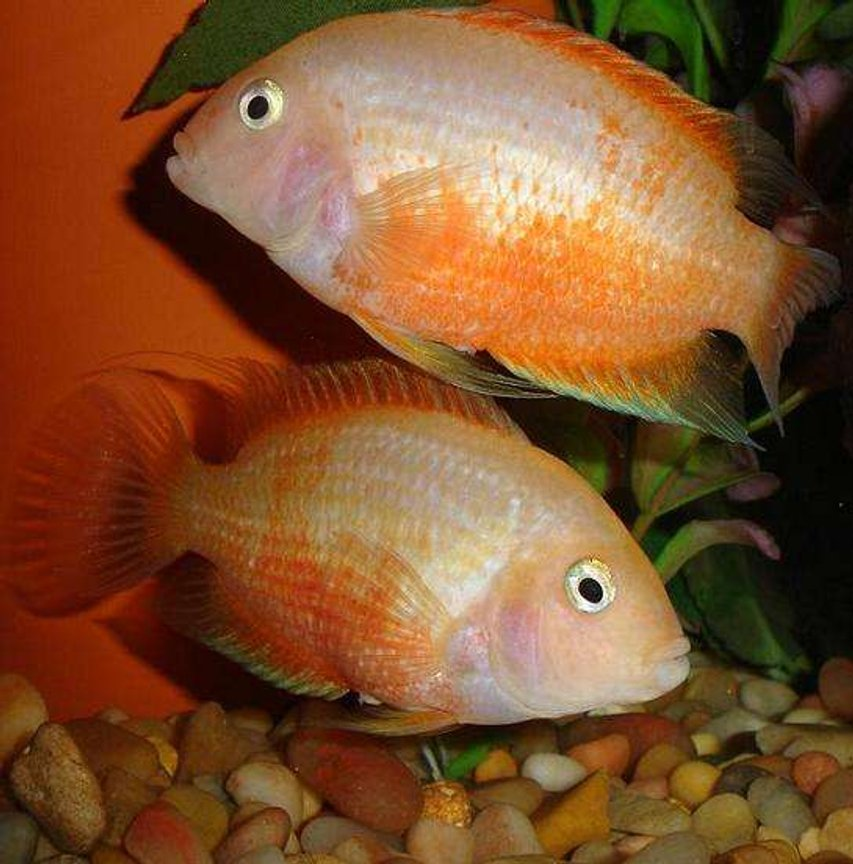 freshwater fish - heros serverus - gold severum stocking in 101 gallons tank - Female Cons