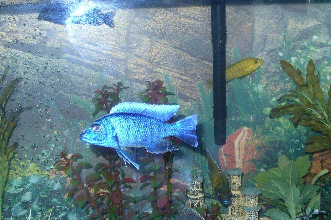 freshwater fish - sciaenochromis ahli - electric blue cichlid stocking in 55 gallons tank - my blue ahli the king of the tank