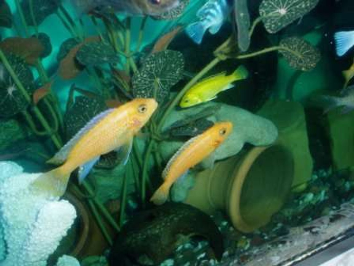 freshwater fish - labidochromis caeruleus - electric yellow cichlid stocking in 70 gallons tank - couple cichlides