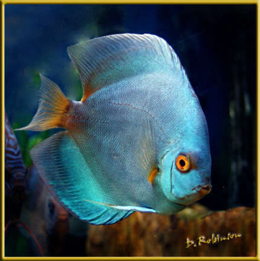 freshwater fish - symphysodon sp. - blue diamond discus stocking in 180 gallons tank - Juvenile Blue Diamond Discuss